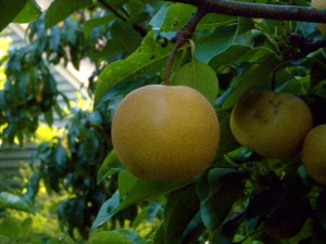 Asian Pears Lime Rock