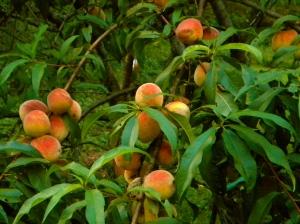 Peaches Lime Rock