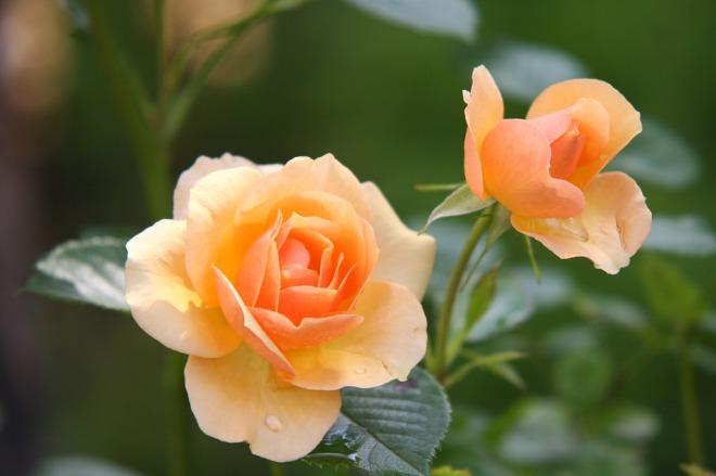 rose-peach