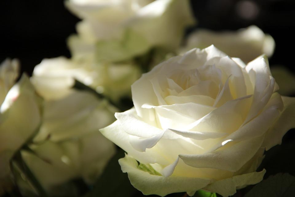 rose – amusicalifeonplanetearth