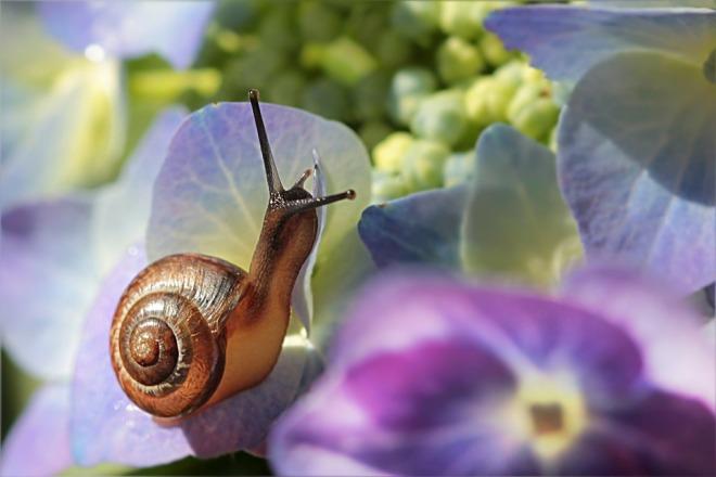 snail-hydrangea