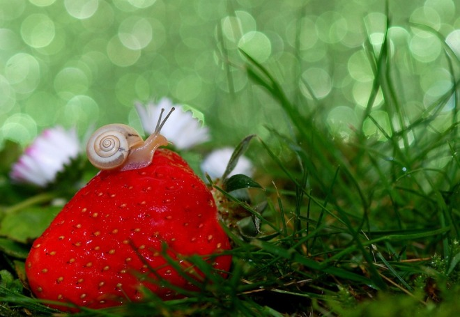 snail-strawberry