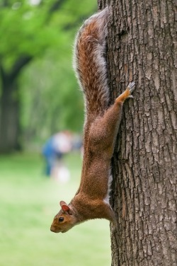 squirrelvertical