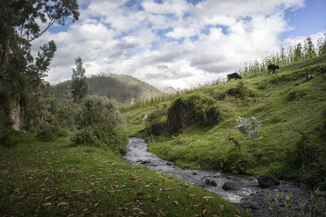 stream-cows
