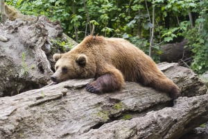 bear-sleeping