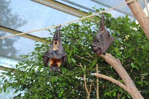 flying-foxes-sleeping