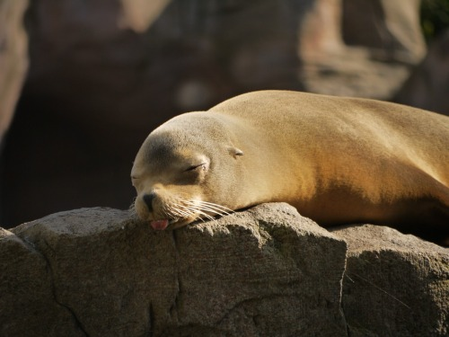 seal-sleeping