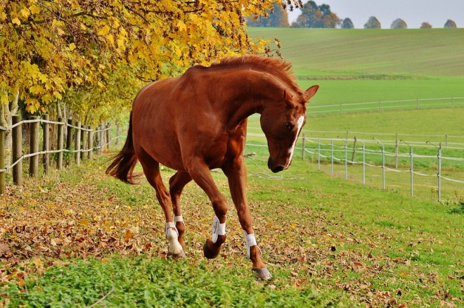 chestnut-galloping