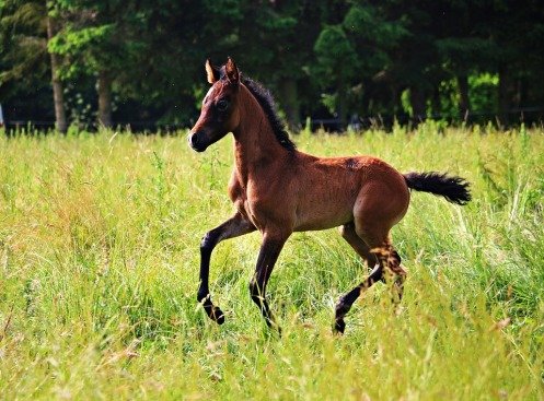horse-foal-galloping