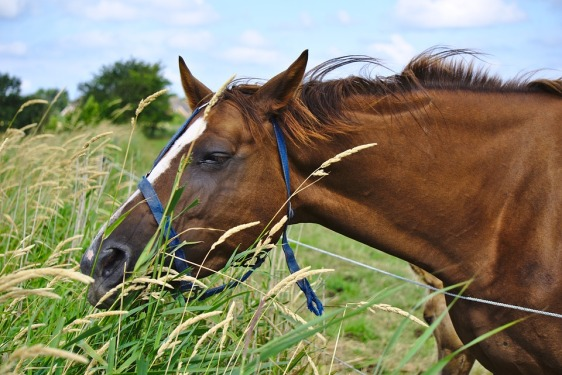 horse-grasses