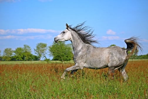 horse-gray-galloping