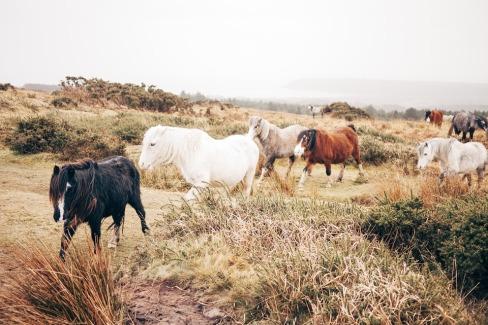 horses-hairy-herd