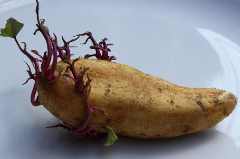 PotatoSprouting