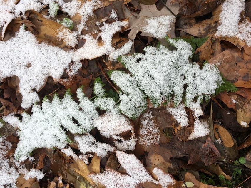 SnowFernChristianne