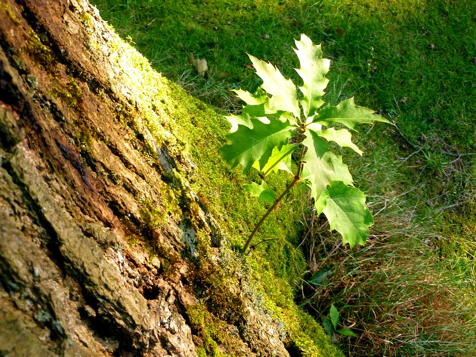 Baby-Oak-Sprouting