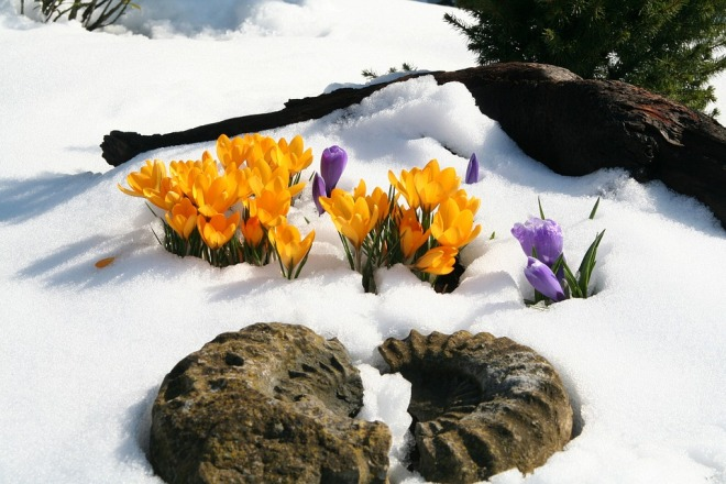 Crocii-Yellow-Snow