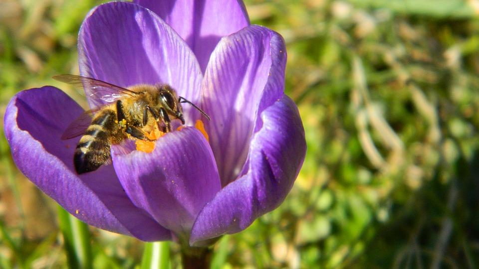 crocus-honeybee