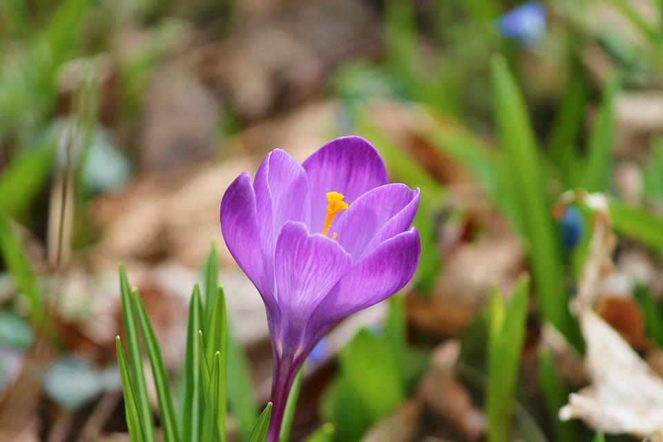 crocus-purple-single