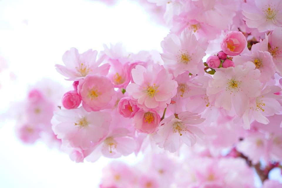 JapaneseCherryBlossoms