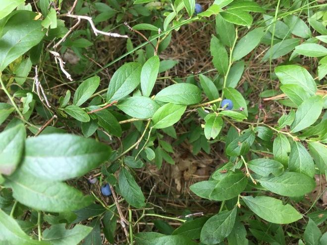 BlueberryPlant
