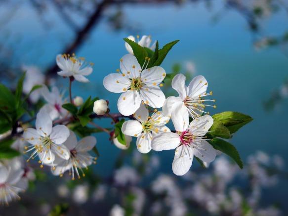 cherry-tree-3109879_1280
