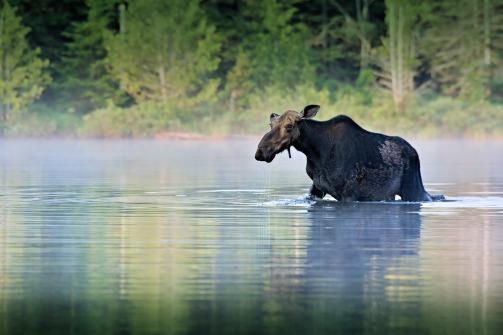 moose-1209665_1920