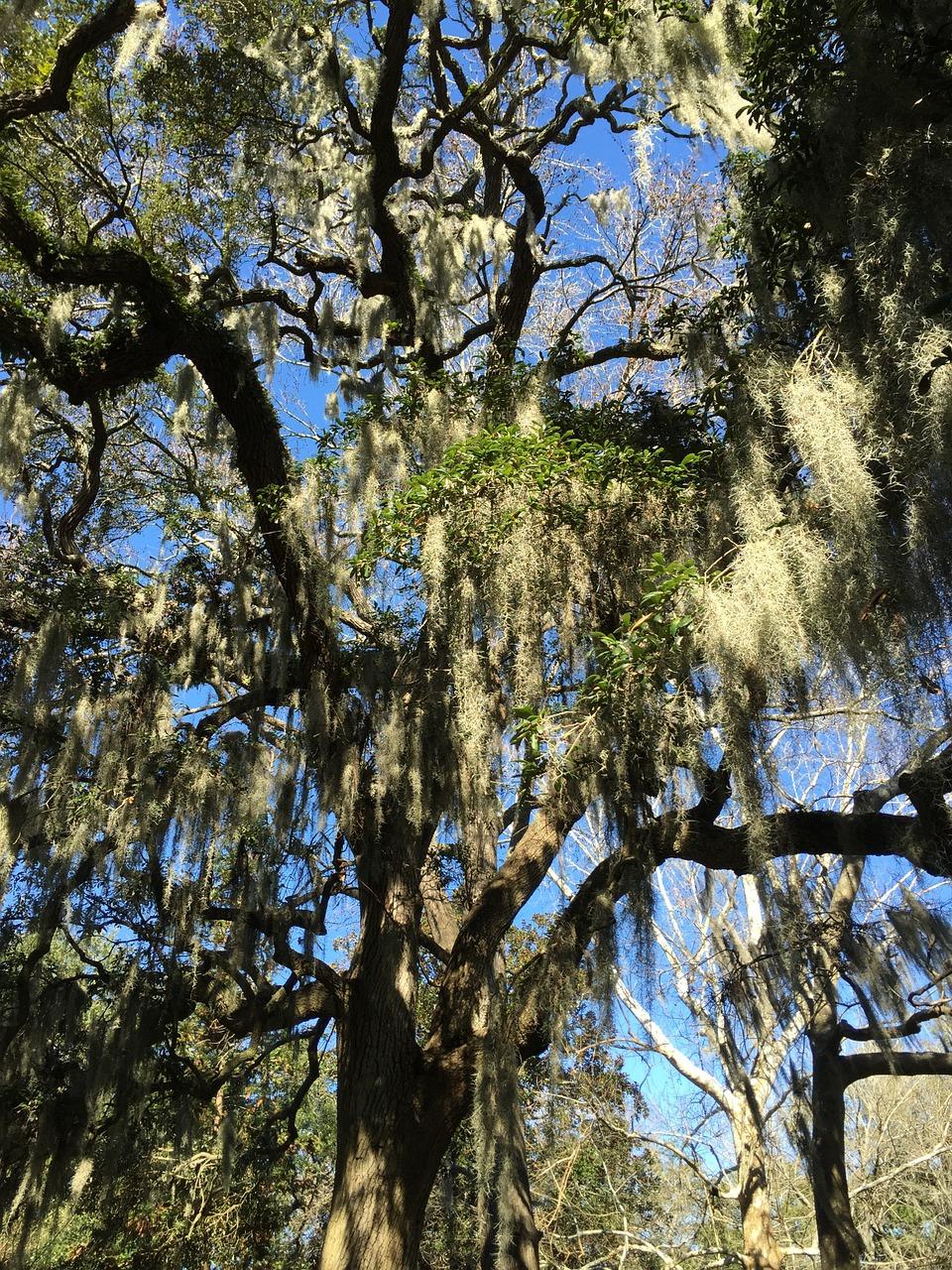 savannah-oaktree-moss