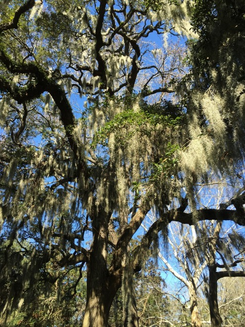 savannah-oaktree-moss