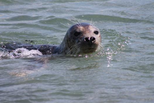 gray-seal-3930790_1280
