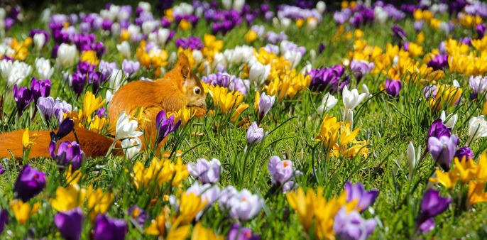 Crocus And Squirrel