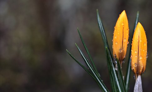crocus-yellow-closeup